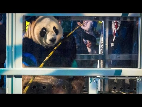 Two giant panda cubs arrive in Netherlands to take up star roles