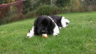 Dogs Picking Apples