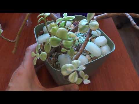 Комнатные цветы/растения. Семейство толстянковые. Суккуленты. Мини коллекция. 2ч
