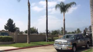 Melendez tree service. Trimming queen palms. San Bernardino