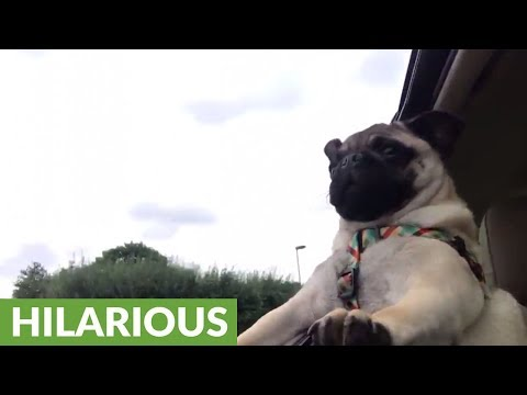 Pug attempts to bite passing trees from car window