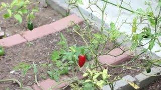 How To Plant A Salsa Garden : Vegetable Gardening