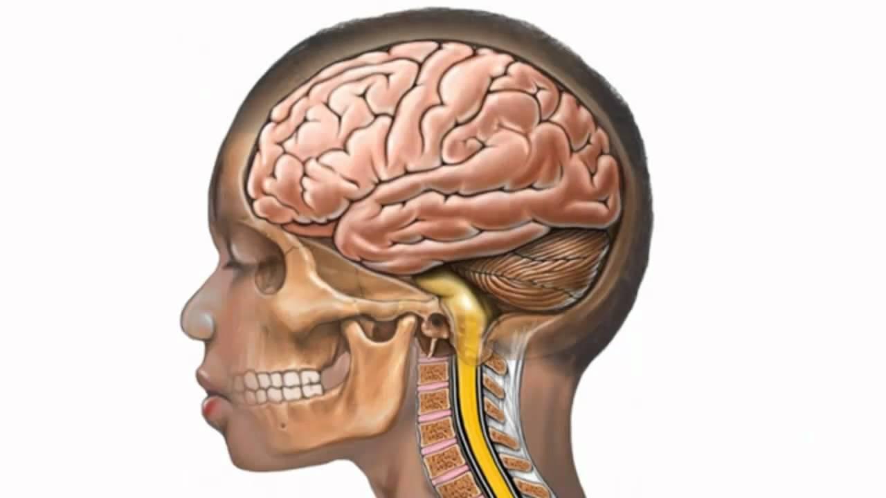 Картинка мозга в черепе
