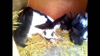 Банановая диета крольчат