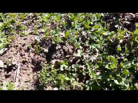 Picrorhiza scrophulariiflora Nursery India