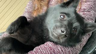 Tired Schipperke dog after a long day at the beach.
