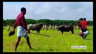 Pagla Mohesh || দেশের সবচেয়ে সেরা মহিষের লড়াই || WORLD PRITHIBI YOUTUBE