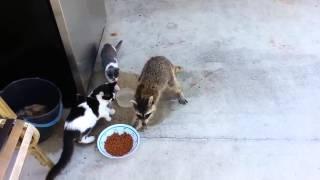 Енот с диким азартом, ворует еду у кошек!
