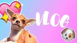 VLOG ЩЕНКА!💕Первый поход щенка к ветеринару !Щенок чихуахуа играет :) радости.Беременна в 16