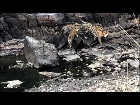 The Tigers Of Ranthambore