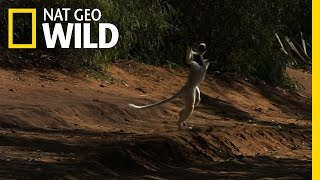 Leaping Lemurs | Animal Dance Battles The sifaka lemurs of Madagascar move around the forest floor by leaping like graceful ballerinas.   ➡ Subscribe: http://bit.ly/NatGeoWILDSubscribe  About National Geographic Wild: National Geographic Wild is a place for all things animals and for animal-lovers alike. Take a journey through the animal kingdom with us and discover things you never knew before, or rediscover your favorite animals!  Get More National Geographic Wild:  Official Site: http://bit.ly/NatGeoWILD Facebook: http://bit.ly/NGWFacebook Twitter: http://bit.ly/NGWTwitter Instagram: http://bit.ly/NGWInstagram  Leaping Lemurs | Animal Dance Battles https://youtu.be/fHCQ5-1n07M  Nat Geo Wild  https://www.youtube.com/user/NatGeoWild