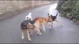 Dogs sex fight