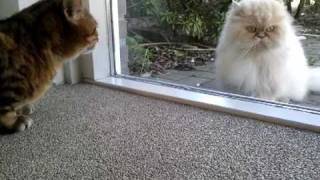Bengal cat vs. Persian cat (behind the glass)
