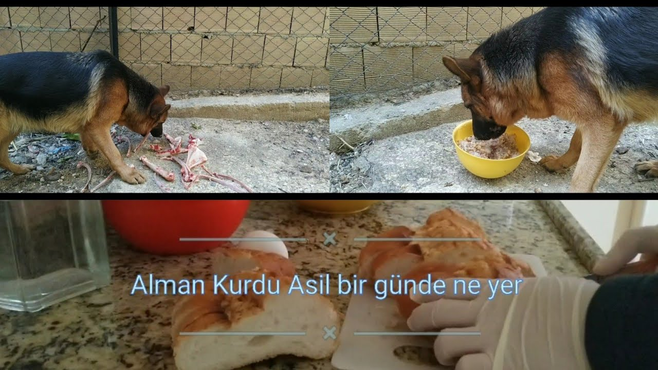 YAVRU BÜYÜTEN KÖPEKLER İÇİN MAMA TARİFİ #almankurdu #dog #almançobanköpeği #puppy