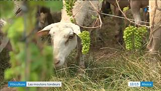 Un viticulteur recrute des moutons pour prendre soin des vignes, et ça marche plutôt bien