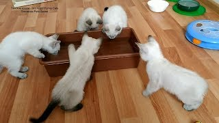 Как пятеро двухмесячных тайских котят ловили игрушечную рыбку! Тайские кошки   это чудо! Funny Cats