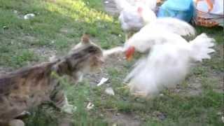 Кот схватил курицу cat and chicken