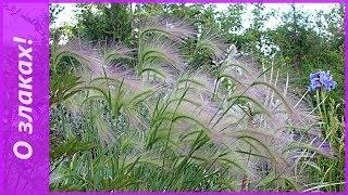 Декоративные злаки  семенами. Посев семян на рассаду и обзор рассады.