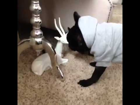 Cute but Dumb Frenchbulldog via VINE