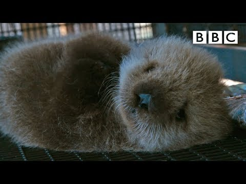 Orphan sea otter - Super Cute Animals: Preview - BBC One