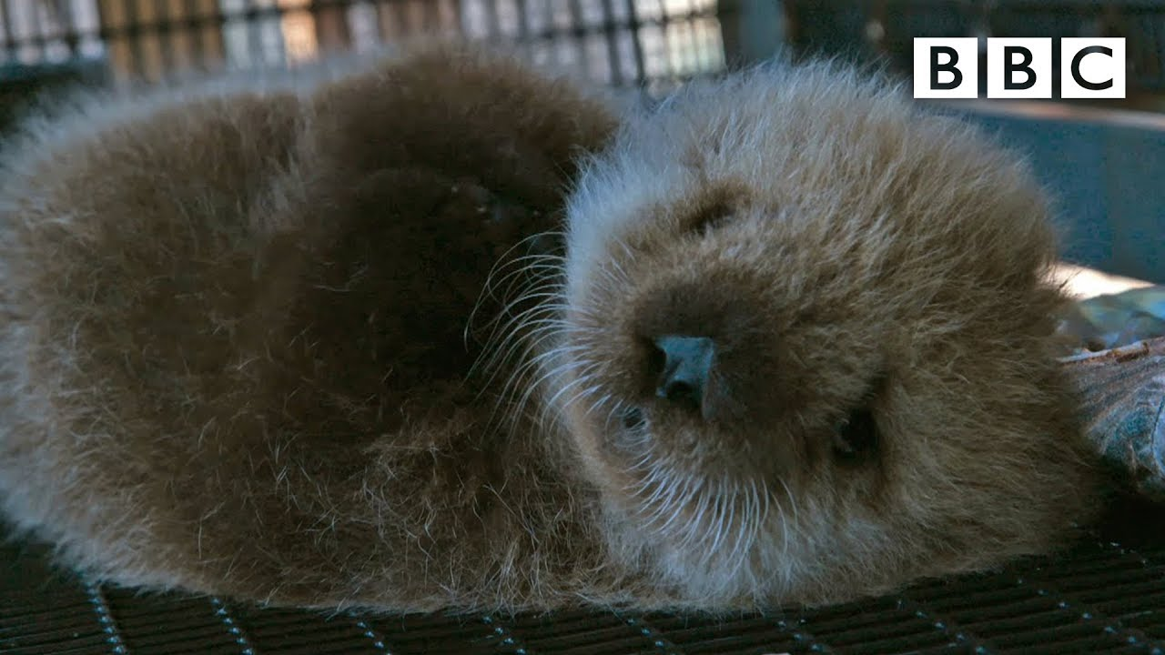 orphan sea otter super cute animals preview bbc one youtube