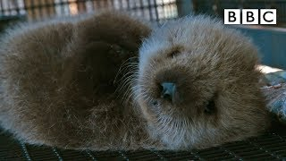 Welcome to the orphaned sea otter salon | Super Cute Animals - BBC