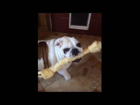 Bulldog fails to get bone through the doggy door