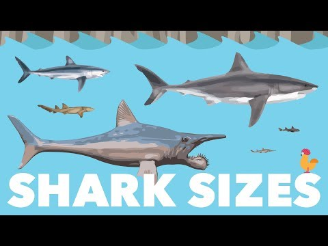 Shark Size Species Comparison