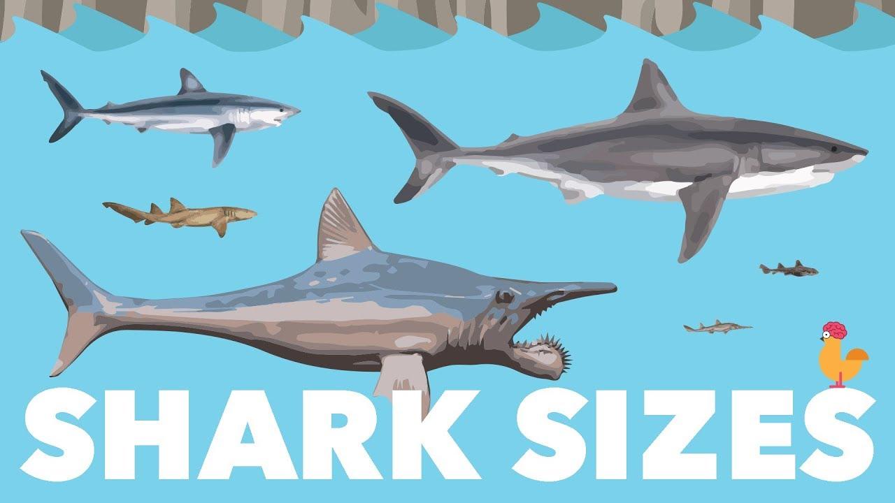 shark size species comparison