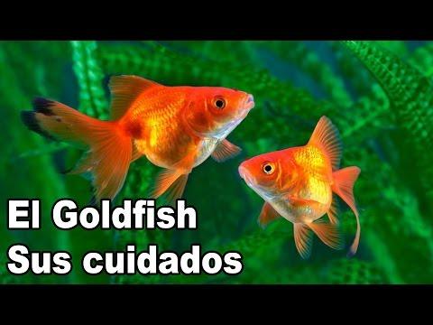 Goldfish Cuidados y Alimentación