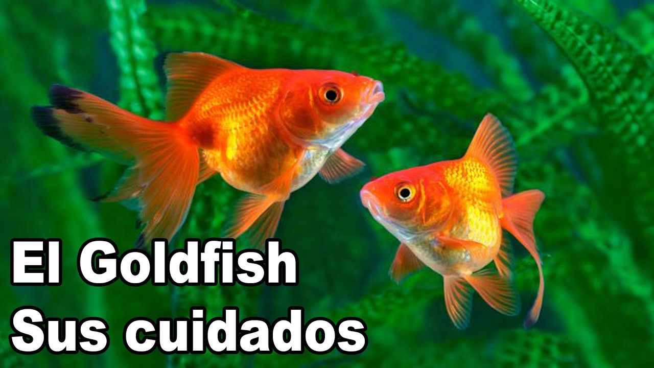 Goldfish cuidados y alimentaci n youtube for Alimento para goldfish