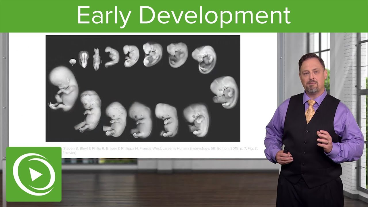 Embryology: Introduction & Early Stages | Lecturio