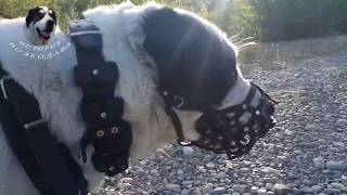 видео Шлейка с грузами для собак