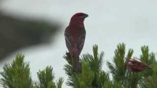 野鳥動画・ギンザンマシコ♂の鳴き声 Pine grosbeak