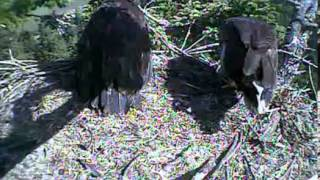 Humboldt Bay eagles,mama brings breakfast maybe small rodent she is so awesome,7/4/13