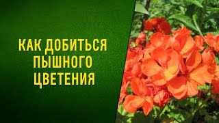 Как добиться пышного цветения