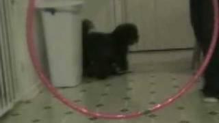 Jumping Westie - Shih Tzu (weshi)