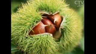 магия каштана: дерево, способное вылечить, накормить и вызвать взаимные чувства