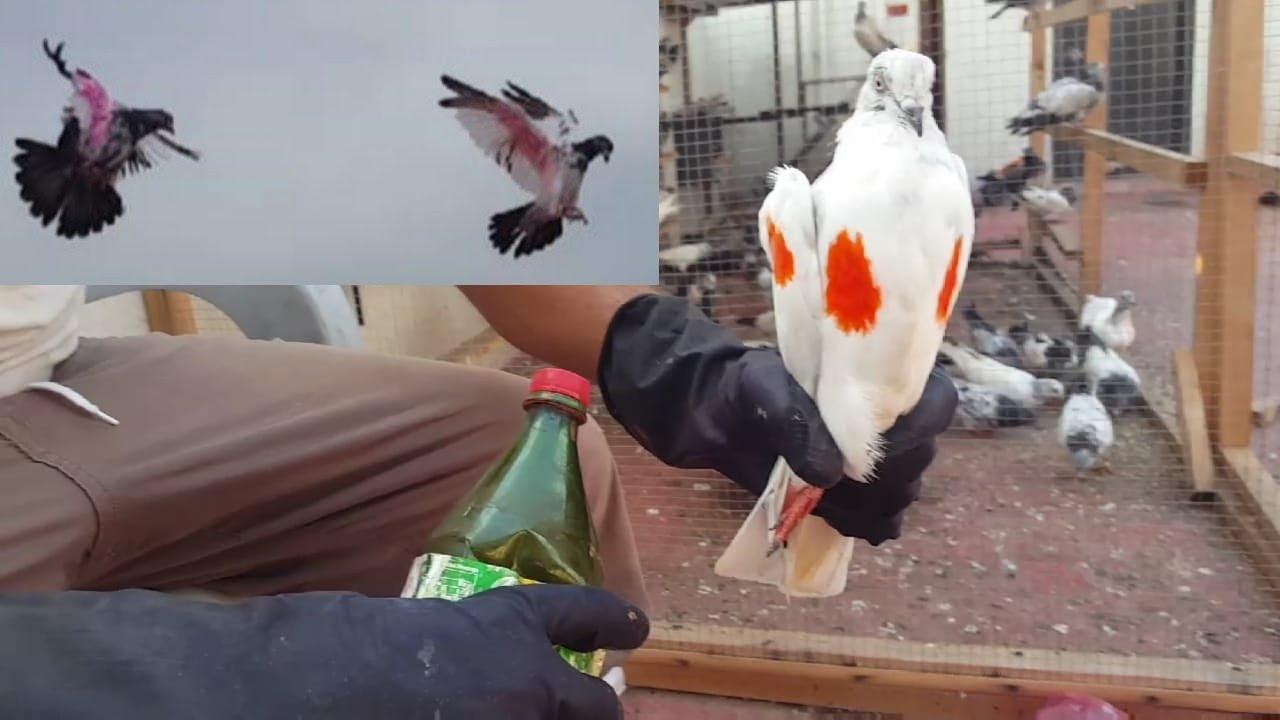 Rang Lagaya New Baby Pigeon Ko   Rang Lagany Ka Tarika    Hashim Mahmood Pigeons