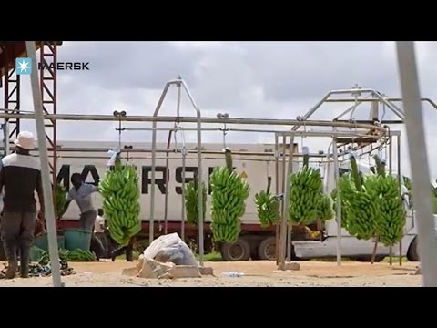 Maersk Line – Bananas from Mozambique
