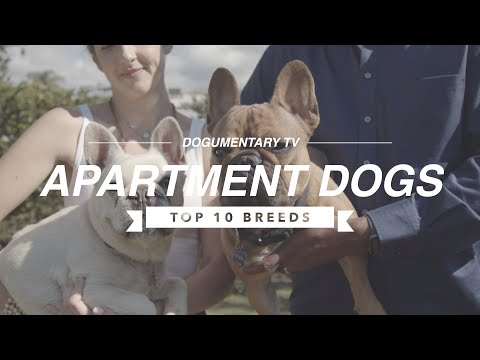 TOP 10 APARTMENT DOG BREEDS