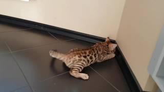 Бенгальский котенок Sem