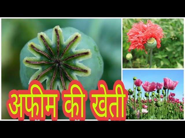 AFIM farming/???? ?? ????/??? ?????? /Agriculture Discovery/ in hindi