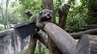 "Тайланд. Кхао Кхео. Погладили Бинтуронга -""Кошачий медведь""))))"
