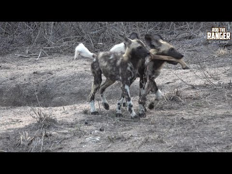Painted Wolf Pack (African Wild Dogs) Playing With Their Food