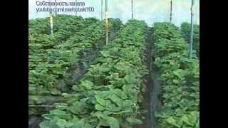 видео: Секреты выращивания клубники  #1