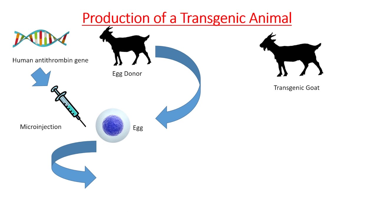 transginic animals Molecular biology essays and research papers | examplesessaytodaybiz development of entirely new uses for both animals and plants transginic animals.
