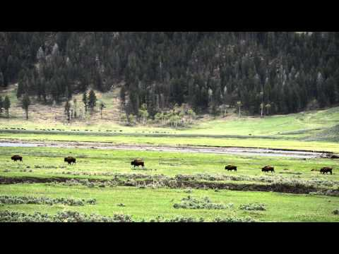 Bison migration -- Leaving the Yellowstone National Park on May 30, 2013