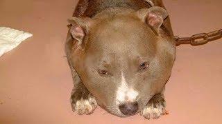 Bu Pitbull'un Boynunda Ne Olduğunu Görünce ,10 Polis Hemen Sahibini Aramaya Gitti.