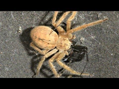 Black Widow Vs. Huntsman Spider (Warning: May Be Disturbing To Some Viewers.)